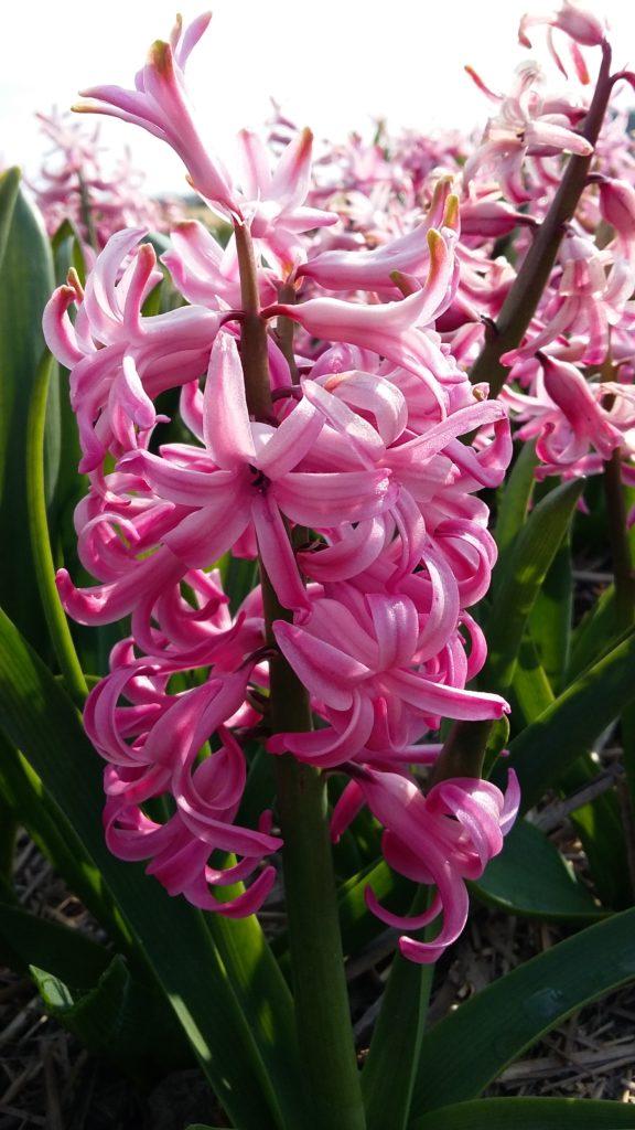 Heemskerk Pink Pearl