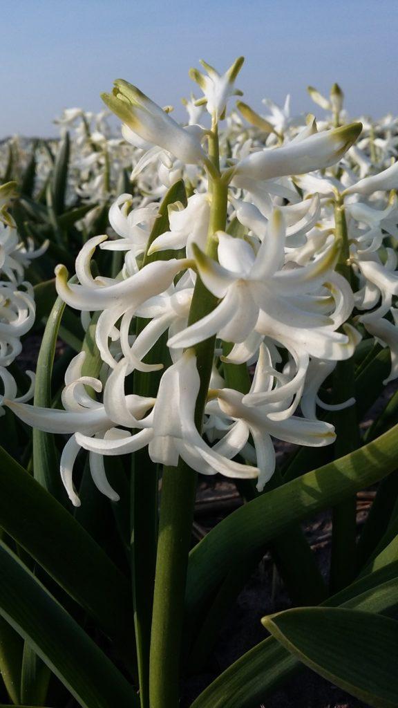 Heemskerk White Pearl