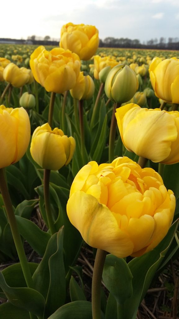 Heemskerk Yellow Pompenette